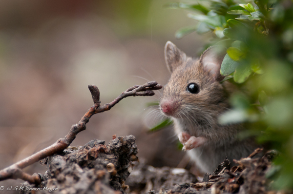 muis mouse