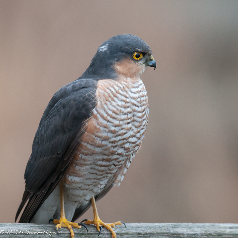 Sperwer Sparrow Hawk