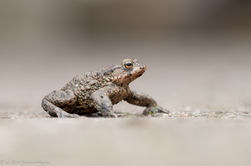 Gewone Pad  Common Toad