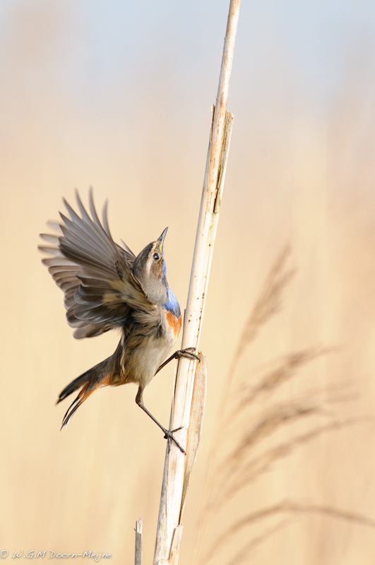 Blauwborst Bluethroat