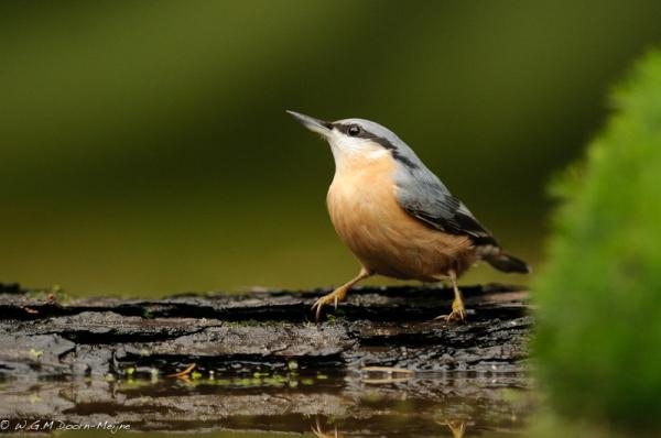 vogel Boomklever Nuthatch
