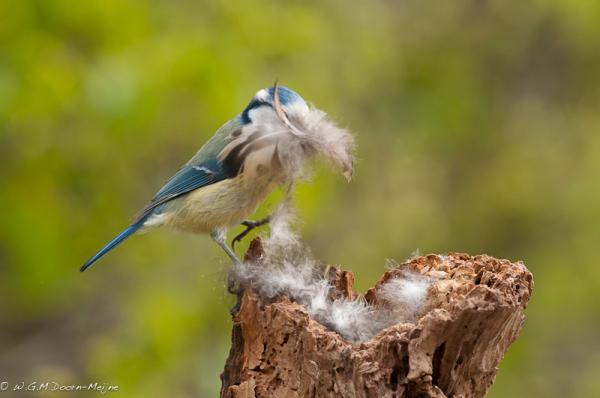 pimplemees Blue Tit vogel