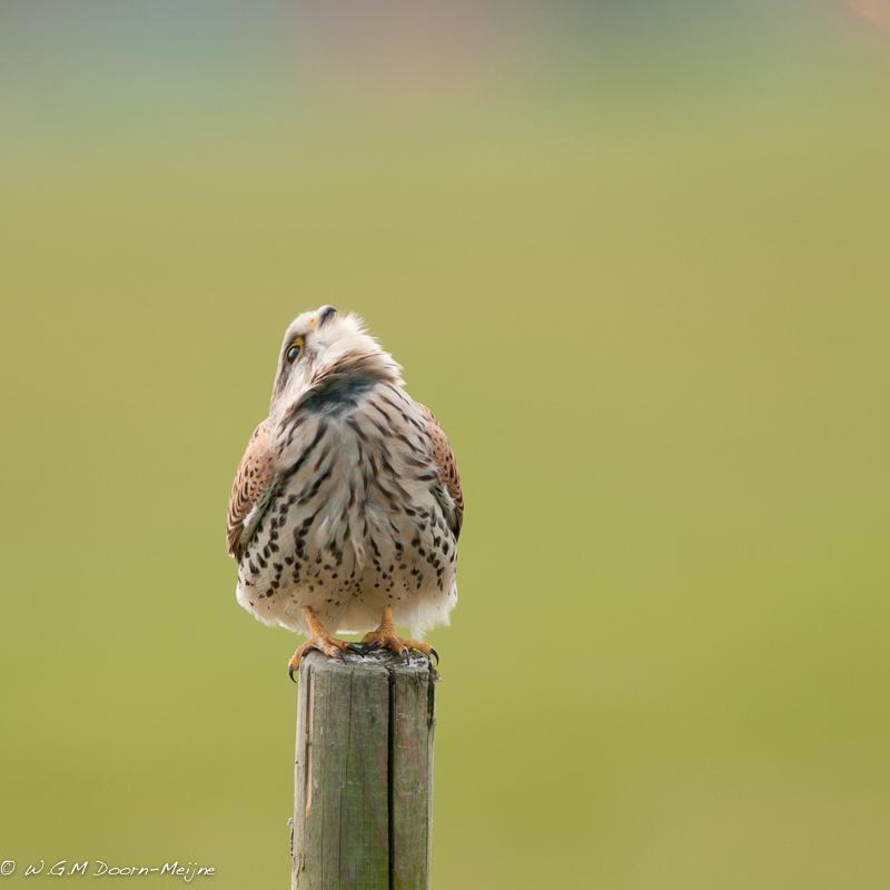 vogel torenvalk Kestrel