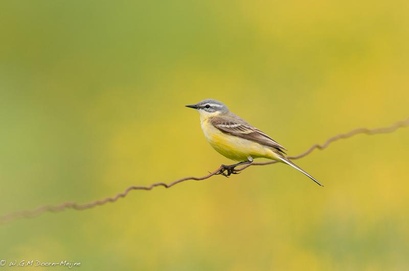 vogel, bird, geel, yellow