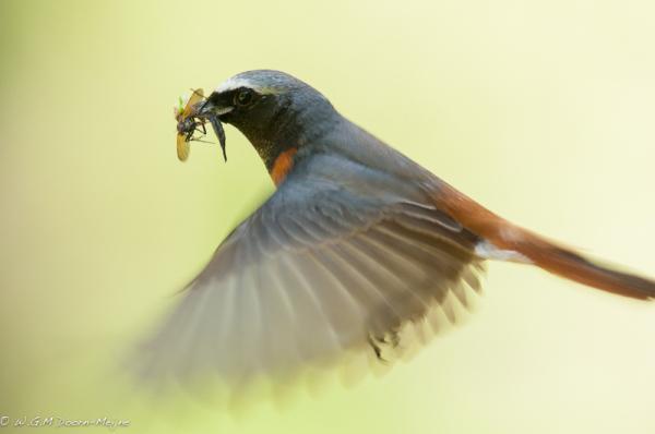 gekraagde roodstaart  Redstart  vogel