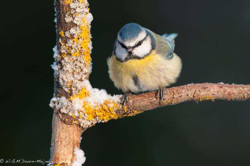 vogel bird pimpelmees bluw tit