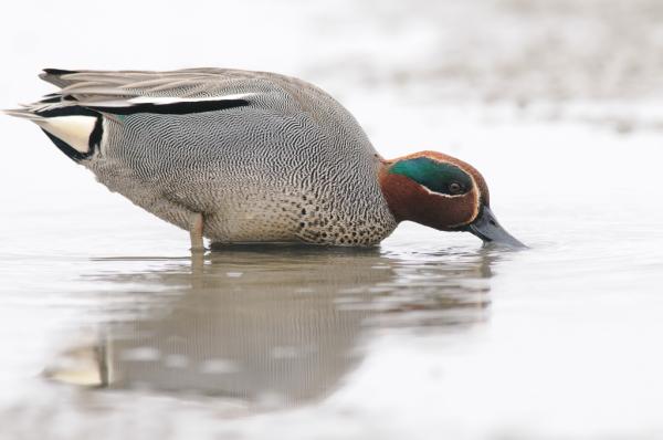 a baggy duck