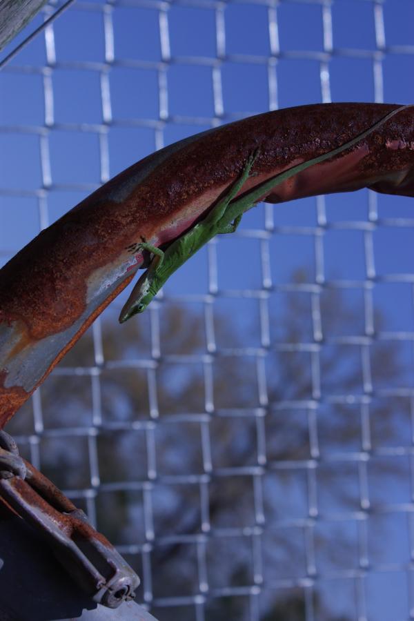 Lizard on fence at Ronnie van Zandt Park