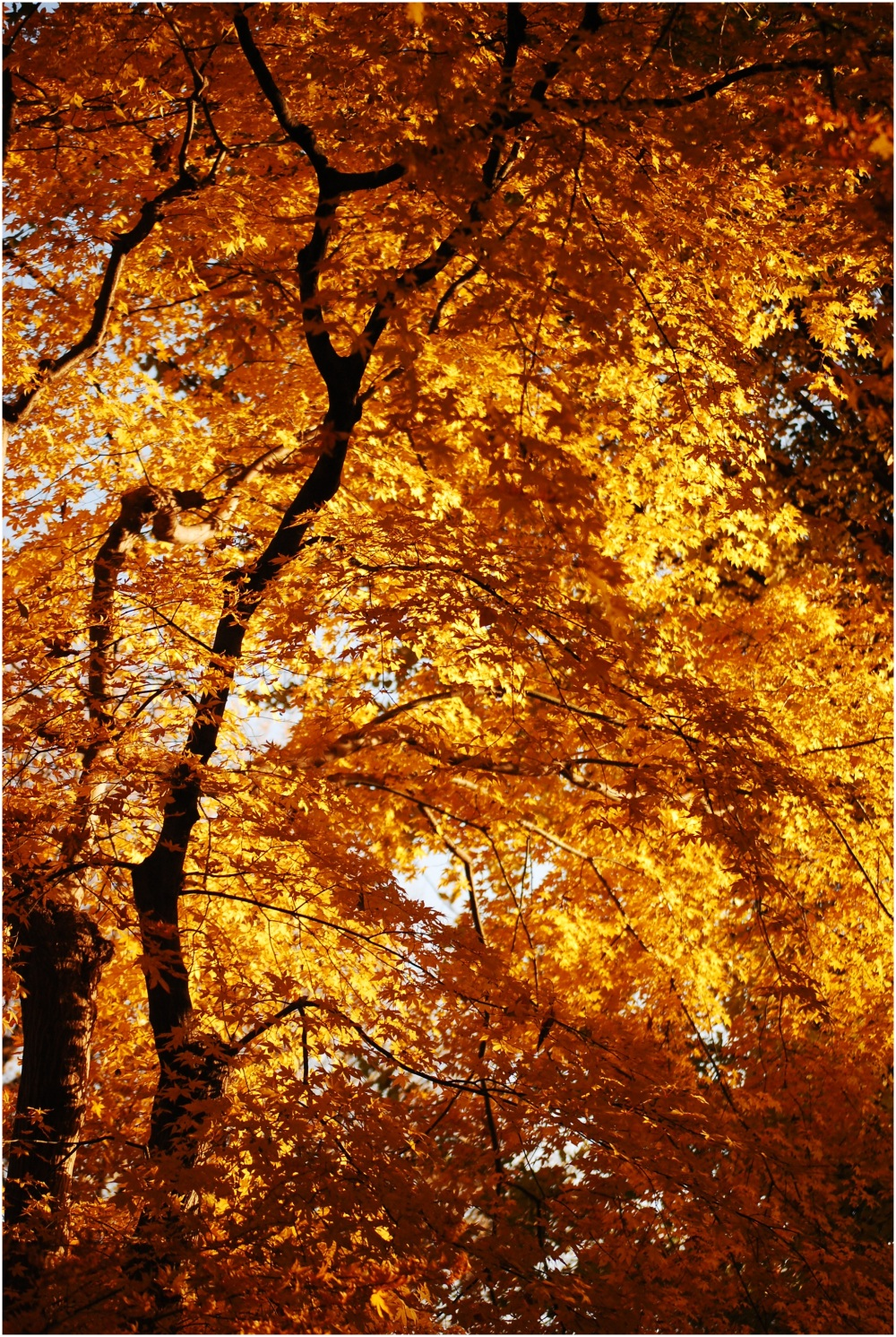Yellow Leaves of Autumn