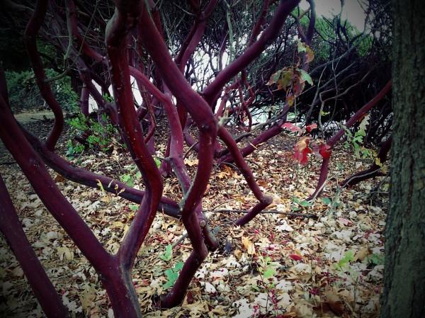 Manzanita bushes.