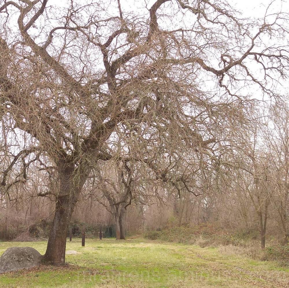 Bird Sanctuary Oak