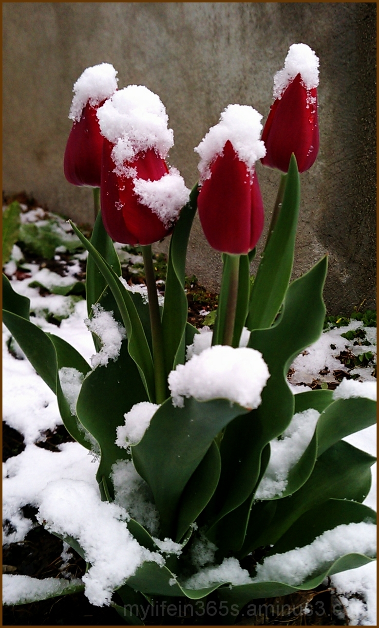 Snow-Capped Tulips