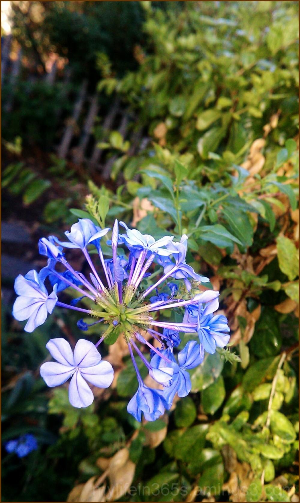 Little Blue Flowers