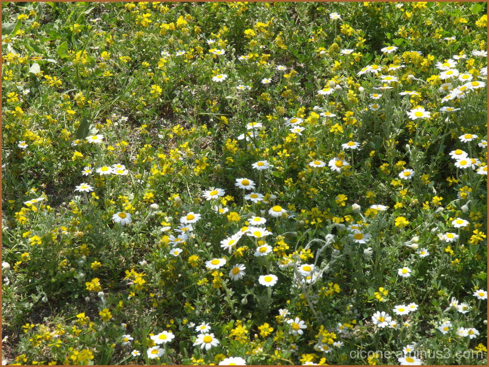 Field with chamomile
