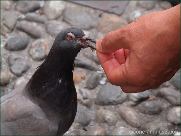 Hungry pigeon