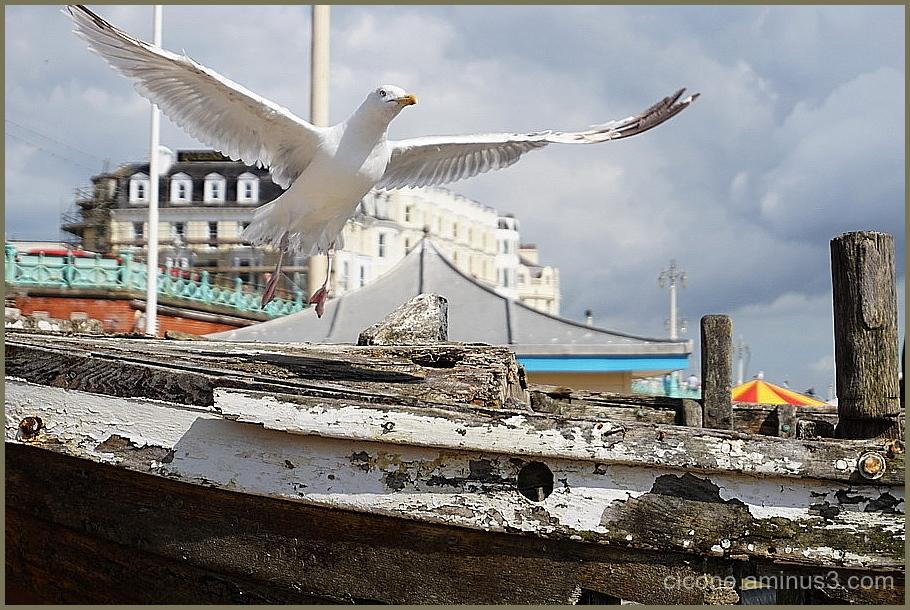 A dove and a boat in Brighton
