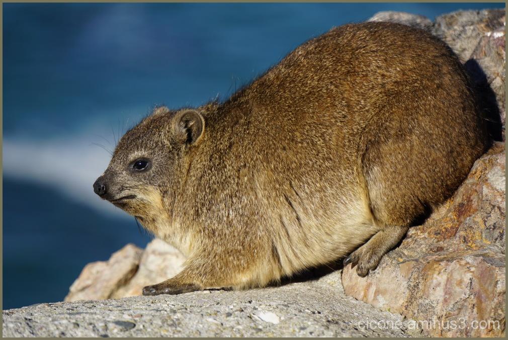 Rock Hyrax (Dassie), Fauna Hermanus, South Africa