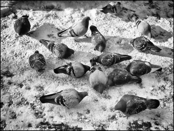pigeons, hungry, cold