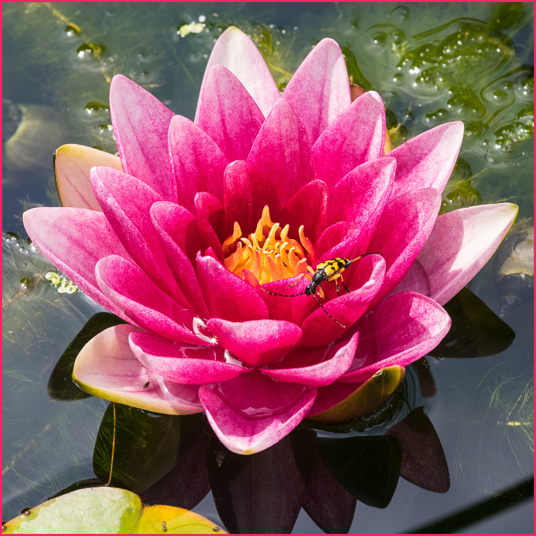water_lily, insect