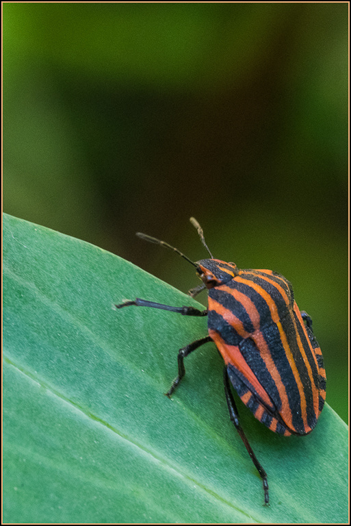 coleopter