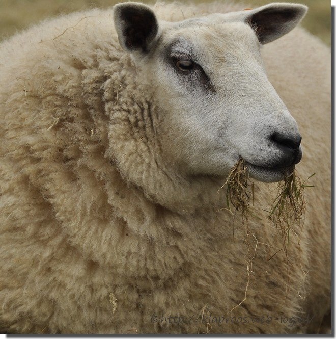 schaap, sheep