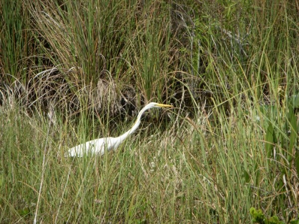Great Egret in Everglades