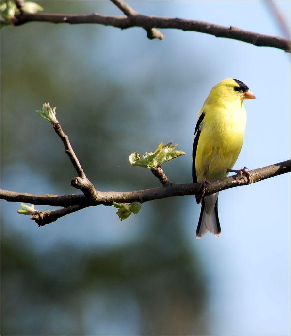 Washington State Bird - The American Goldfinch
