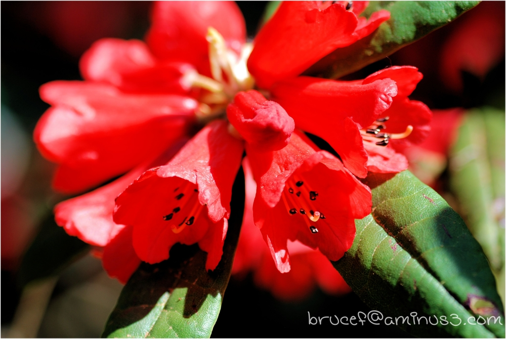 The Rhododendron Trumpets its beauty.