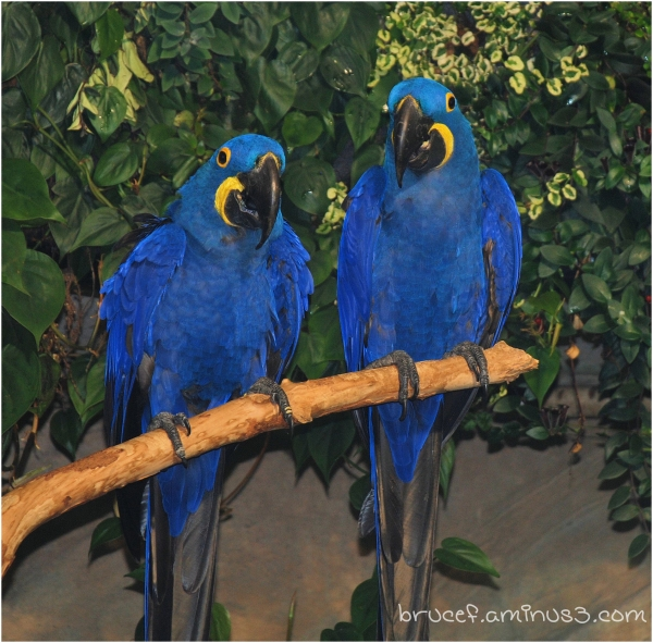 Love birds have the blues's