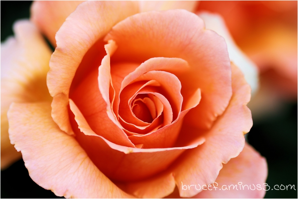 A Rose is a rose is a rose - unless it is a photo