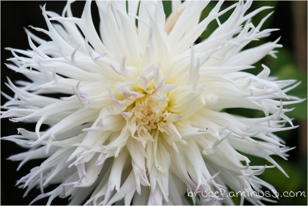 Bad Hair Day for Dahlias