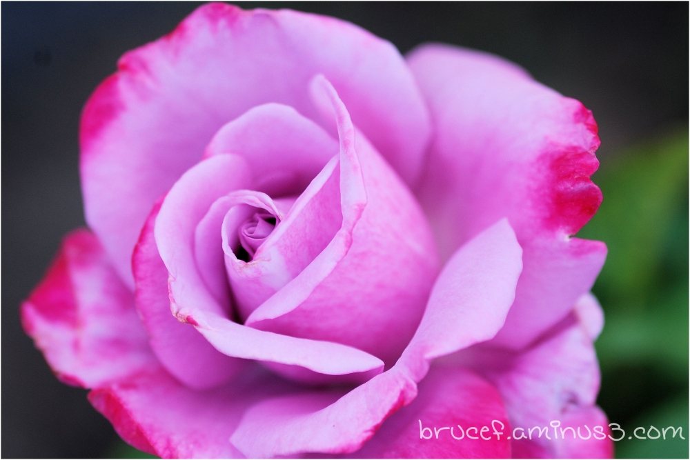 Pink Purple Rose