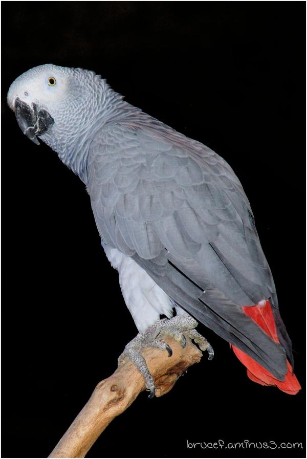 A Gray Parrot at the Fair