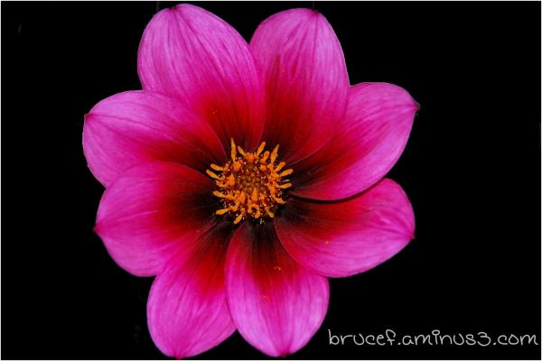 "Pink ""Rosey""  flower"