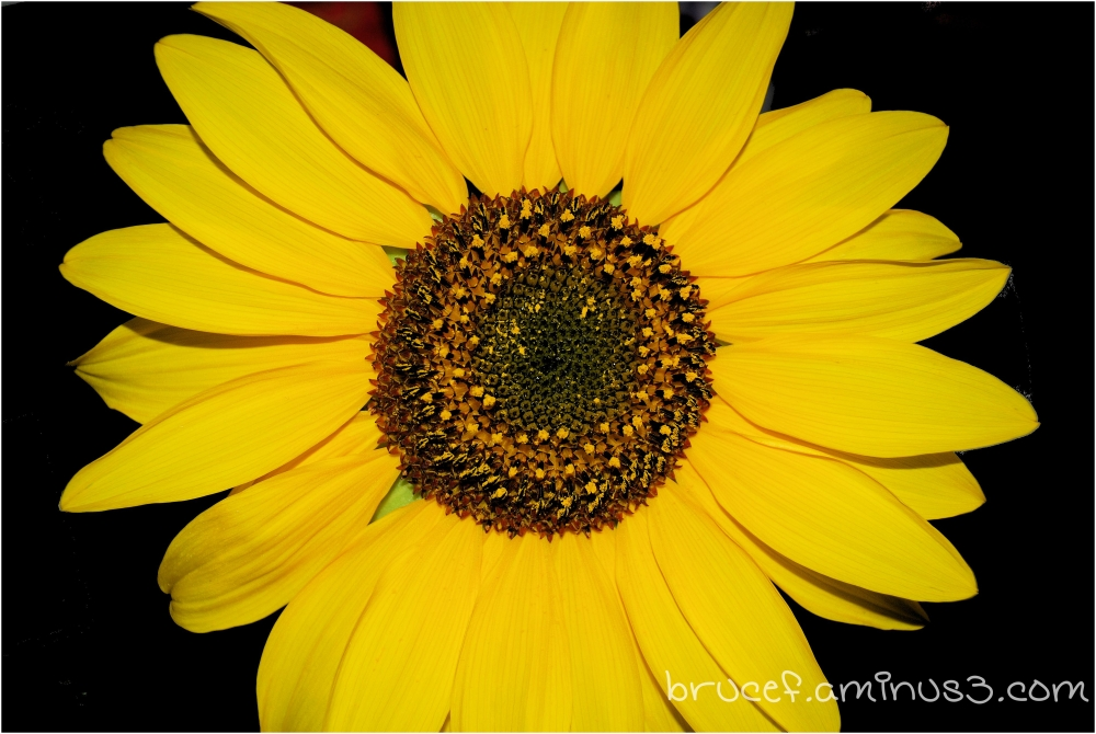 "Yellow Daisy ""like"""