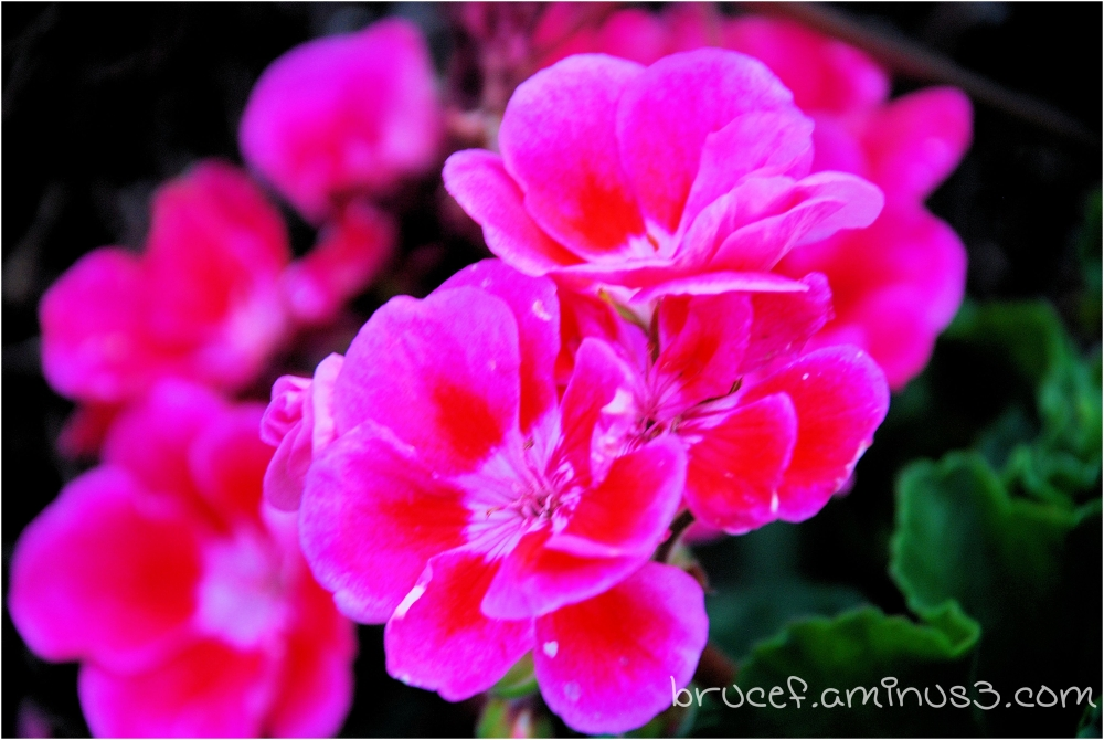 Geranium -  Still hanging in there and blooming