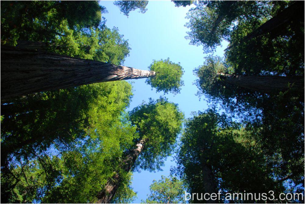 California Redwood Tree