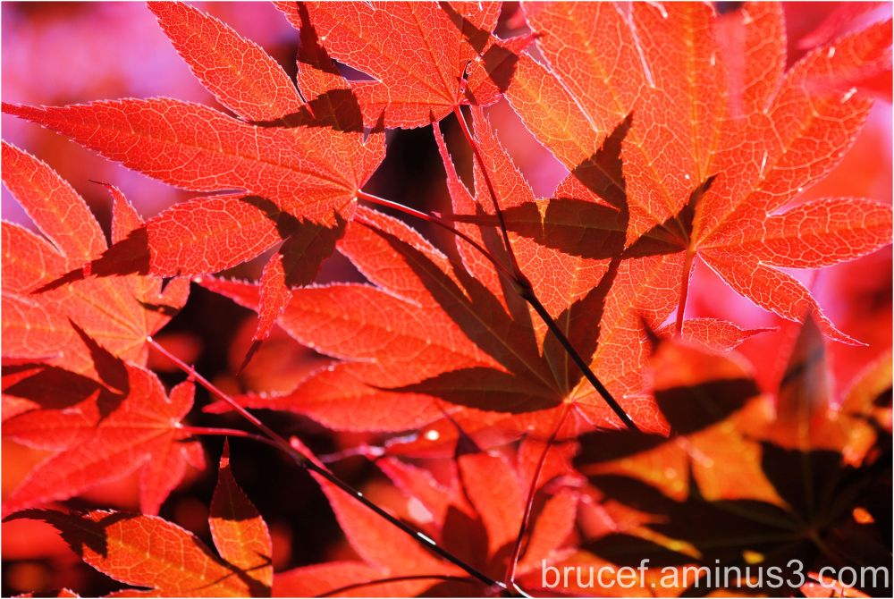 Maple Leaves in the Summer Sun Part 1