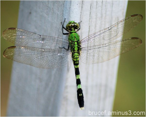 Beautiful Green Dragon Fly