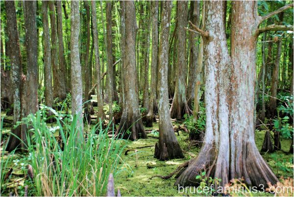 Louisiana swamp in the Lacassine Wildlife Area