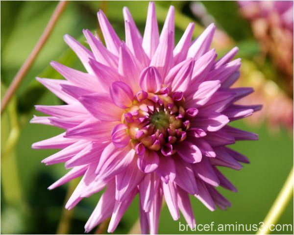 Falls flowers - the Dahlia