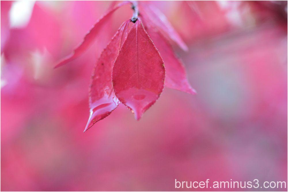 Manito Park Pink
