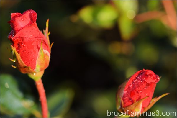 Two Red Rose Buds to brighten the winter