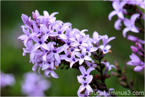 Lilac - A spring favorite