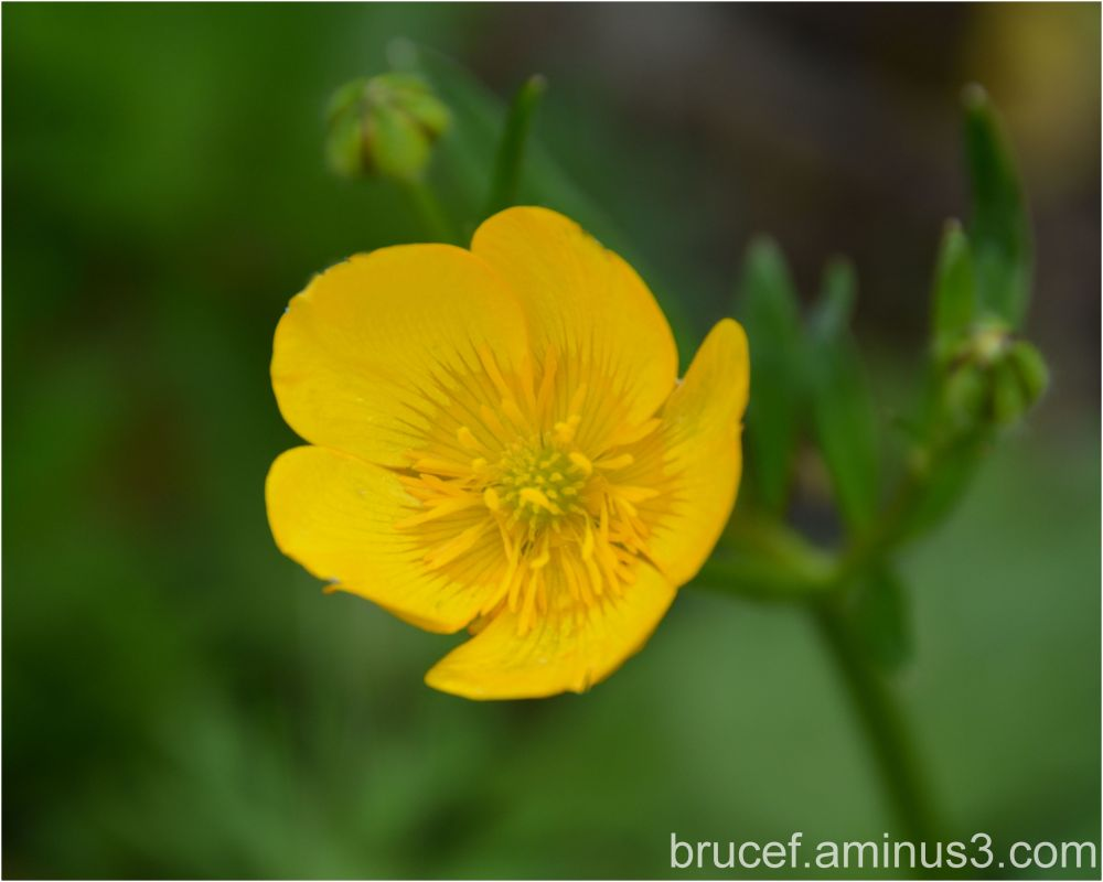 Creeping Buttercup  Part II