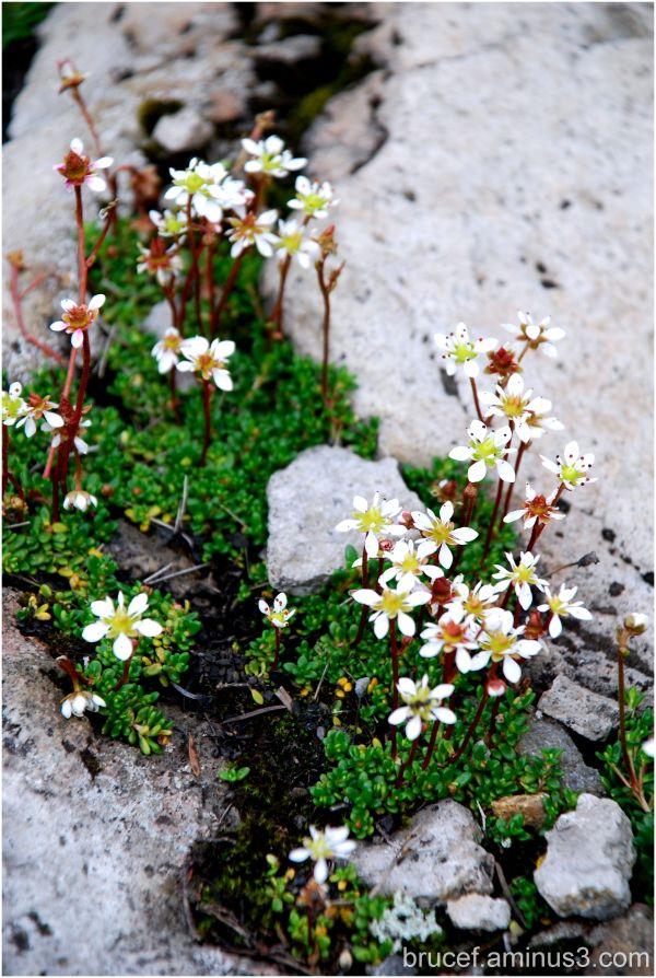 Flowers on Mt Baker