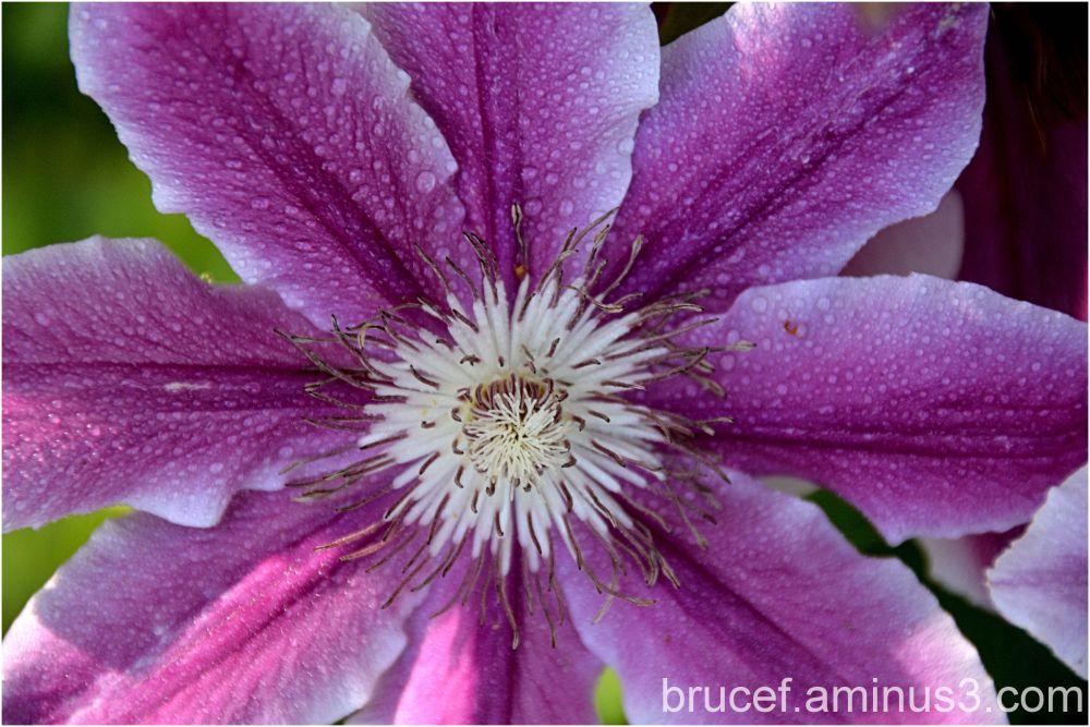 purple Clementi