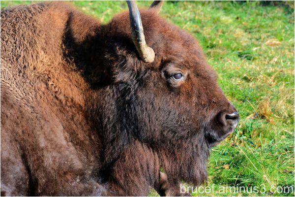 O Give Me a Home where the Buffalo roam