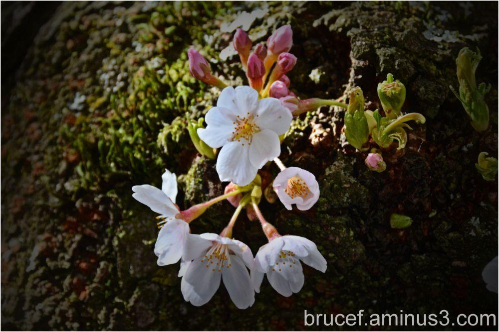 Cherry Blossoms starting