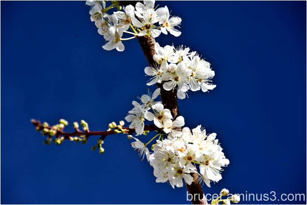 Spring has started    Plum Blossoms at the Church